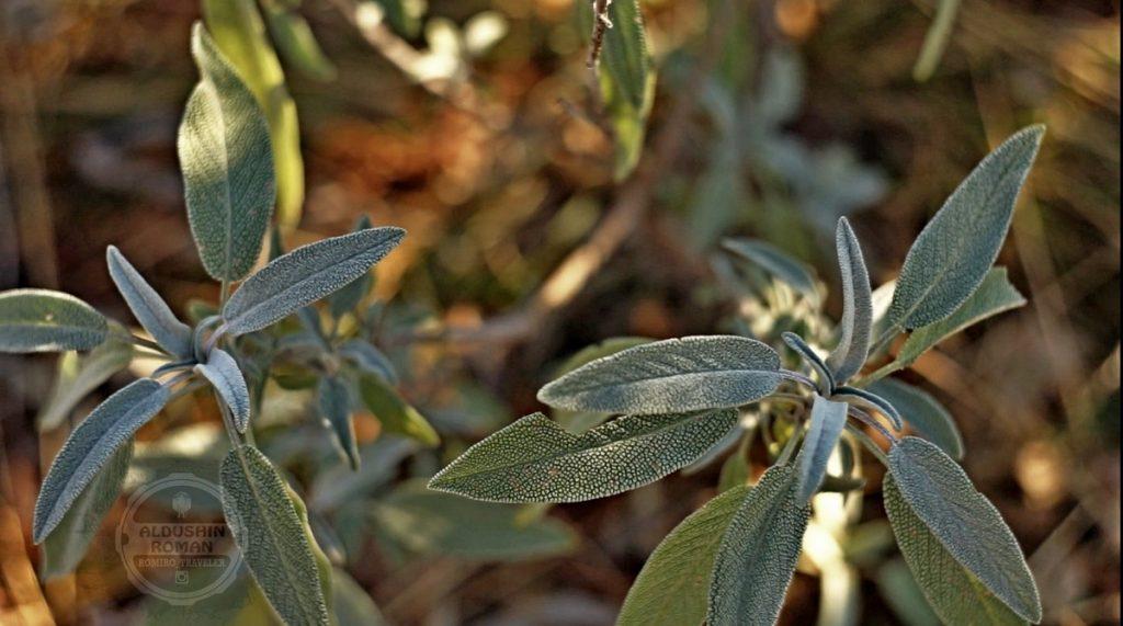 sage medicinal herbs